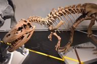 800px-Torvosaurus_Madrid