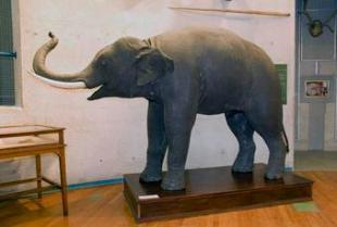 Imagen del Elefante asiático.